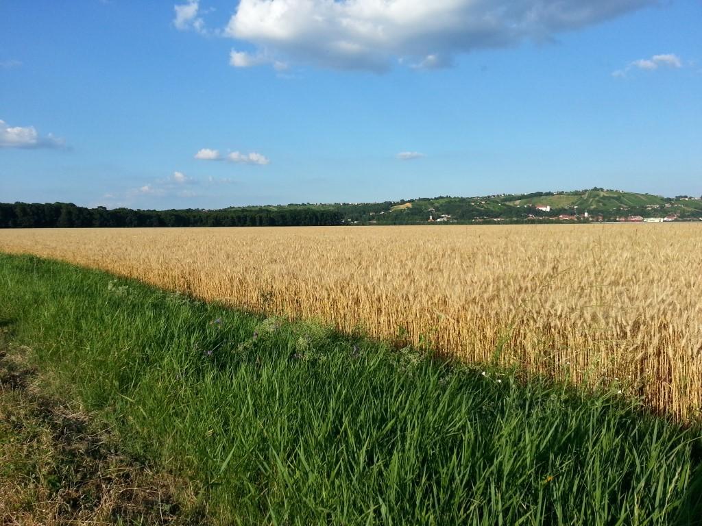 Ponudba semenskih ozimnih žit